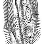 Ink; after template and preparation from Prof. Foissner